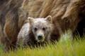 Картинка природа, фон, bear