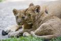 Картинка трава, кошки, пара, львята, детёныши, ©Tambako The Jaguar