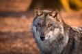 Картинка глаза, волк, шерсть. хищник