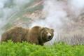 Картинка трава, лето, фото, туман, Камчатка, склон, медведь