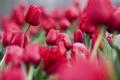 Картинка цветы, сепия, тюльпаны, перешарп