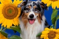 Картинка цветок, природа, подсолнух, пес