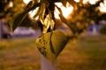 Картинка листья, ветка, семена, липа