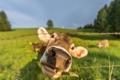 Картинка морда, природа, забор, корова