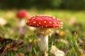 Картинка осень, трава, гриб, мухомор