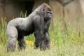 Картинка Zoo, Gorilla, Westelijke laagland gorilla, La Bosière du Doré
