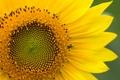Картинка желтый, растение, лепестки, макро, цветк, подсолнух
