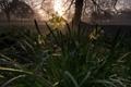 Картинка Rise of the daffodils, Нарцисс, цветы