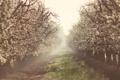 Картинка природа, туман, весна, сад, яблони