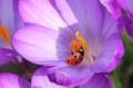 Картинка цветок, насекомое, божья коровка, крокус, лепестки