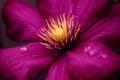 Картинка цветок, капли, роса, клематис