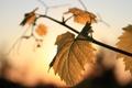 Картинка желтый, лист, лоза, свет заходящего солнца
