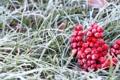 Картинка холод, иней, осень, ягода, Рябина