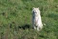 Картинка кошка, трава, солнце, белый тигр