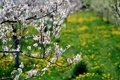 Картинка nature, сакура, Снимок, луг, парк, макро, цветы