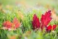 Картинка зелень, осень, трава, листья, макро, красный, природа