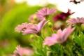 Картинка цветы, размытость, розовые, герберы