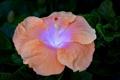Картинка персиковый, гибискус, цветок