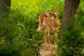 Картинка лес, малыш, оленёнок