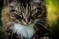 Картинка морда, взгляд, кошка