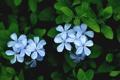 Картинка листья, цветы, лепестки, голубые, Плюмбаго, свинчатка