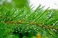 Картинка капли, иголки, зеленый, дождь, ветка, Сосна