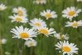 Картинка поле, белый, лето, трава, цветы, жёлтый, ромашки