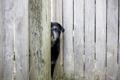 Картинка друг, забор, взгляд, собака