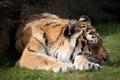 Картинка кошка, тигр, отдых, сон