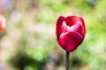 Картинка цветок, тюльпан, лепестки