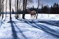 Картинка лес, Ron S. Parker, пейзаж, Afternoon Shadows, олень, солнечный день, тени