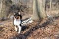 Картинка осень, лес, собака