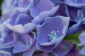 Картинка цветы, лепестки, голубые, тычинки