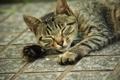Картинка кошка, кот, лежит, полосатый