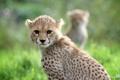 Картинка морда, хищник, гепард, дикая кошка, молодой
