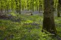 Картинка Morning, Woodland, Kinclaven, Bluebell Wood