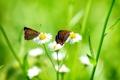 Картинка белые, трава, бабочки, ромашки, две, цветы
