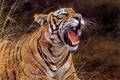 Картинка трава, тигр, хищник, арт, пасть, Alan M Hunt