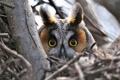Картинка взгляд, ветки, сова, птица, голова, глазища, Ушастая сова