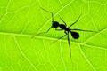 Картинка макро, лист, муравей