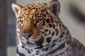 Картинка дикая кошка, морда, ягуар, зоопарк, хищник, портрет