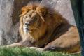 Картинка кошка, трава, взгляд, солнце, лев, грива