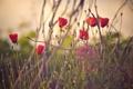 Картинка трава, цветы, маки, лепестки, красные