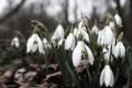 Картинка лес, листья, цветы, земля, весна, подснежники, белые