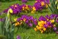 Картинка цветы, весна, крокусы, травка