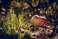 Картинка макро, яблочко, на земле, трава