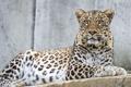 Картинка персидский, ©Tambako The Jaguar, кошка, взгляд, леопард