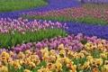 Картинка сад, тюльпаны, гиацинты, нидерланды