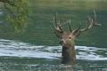 Картинка олень, река, ветка, рога, вода