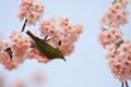 Картинка цветы, ветки, природа, птица, весна, сакура, цветение